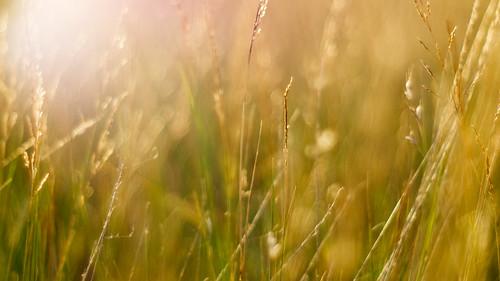 depthoffield pacificnorthwest closeup grass minolta50mmf17md pnw issaquah golden bokeh dof olympusomdem5 washington microfourthirds johnwestrock