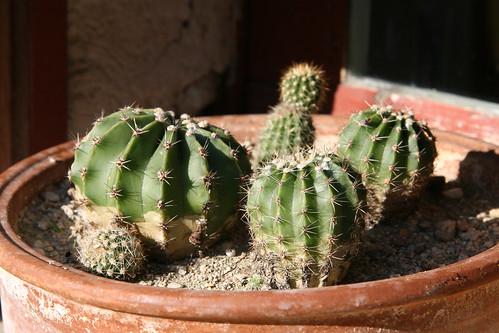Echinopsis eyriesii et Parodia mammulosa [identifications] 33406185001_ac17afe97f