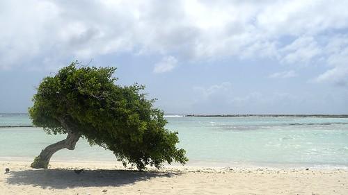 Divi divi - Aruba