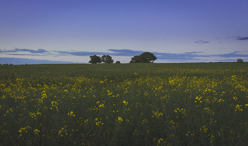 flowers trees sunset england sky plants nature field canon landscape countryside scenery leicestershire britain outdoor dusk united great kingdom rapeseed 650d t4i