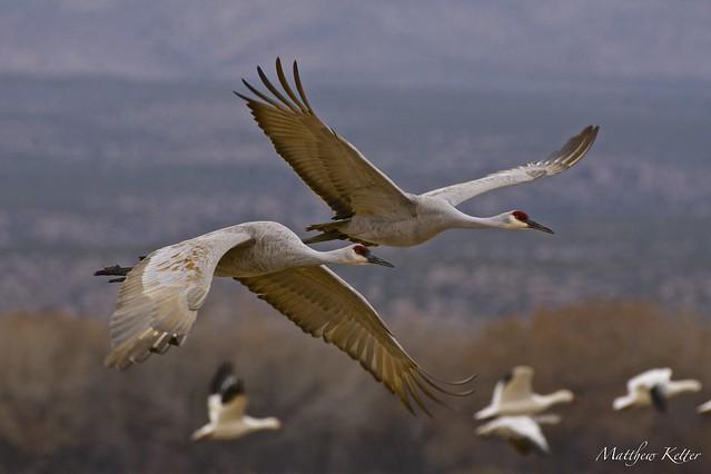 Sandhill Cranes (Grus Canadensis) - Symbiosis