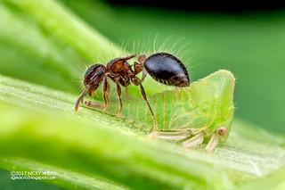 Thorn-like treehopper (Membracidae) - DSC_8274