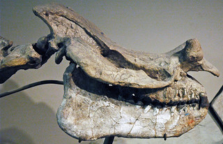 Megacerops dispar fossil titanothere (Lower Oligocene; South Dakota, USA) 4