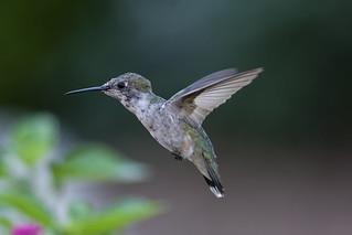Hummingbird in Flight_DSC4657