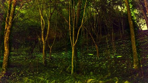 longexposure nature grass night canon woods taiwan nightscene 台灣 169 2014 螢火蟲 lampyridae lightningbugs 1635mm 蛍 東勢林場 火金姑 長曝 夜攝 螢 canoneos5dmarkiii 光仙子