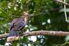 Pava Hedionda (Opisthocomus hoazin) by alejocock