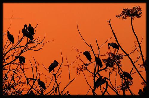 trees sunset red bird nature silhouette cranes resting nikoncoolpixp520 tripuraindia