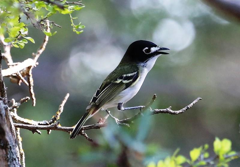 Black-capped Vireo (endangered)