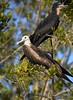 Frigatebird by cjlloyd2078