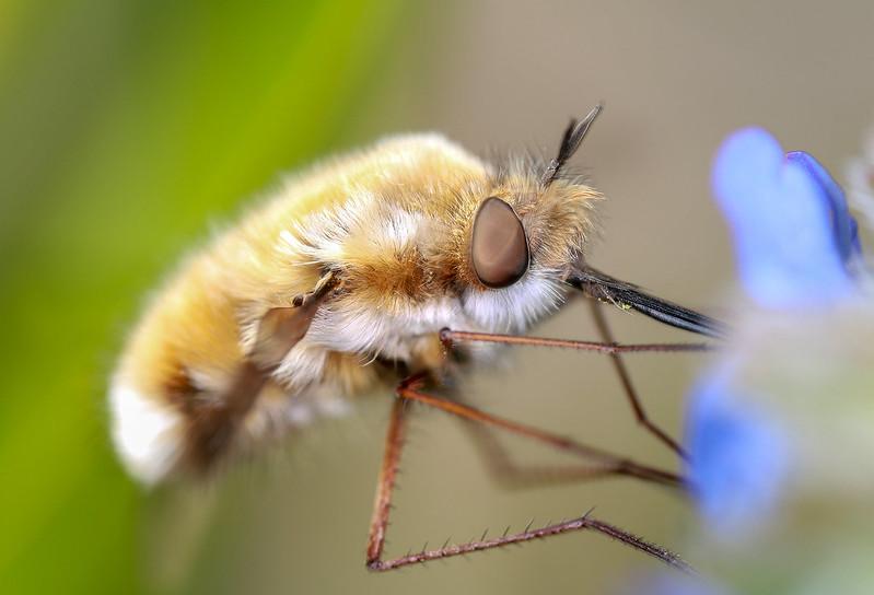 Bee fly1