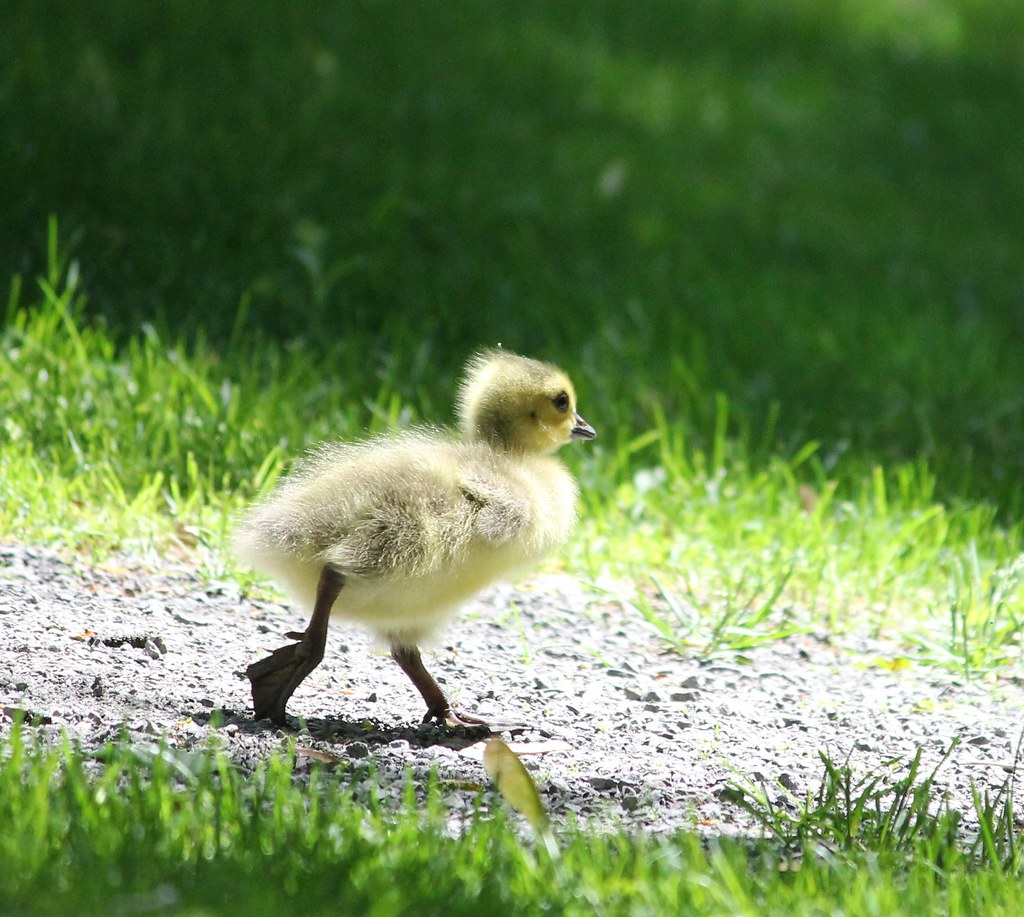 Gosling, trying to catch up with Mom & Dad
