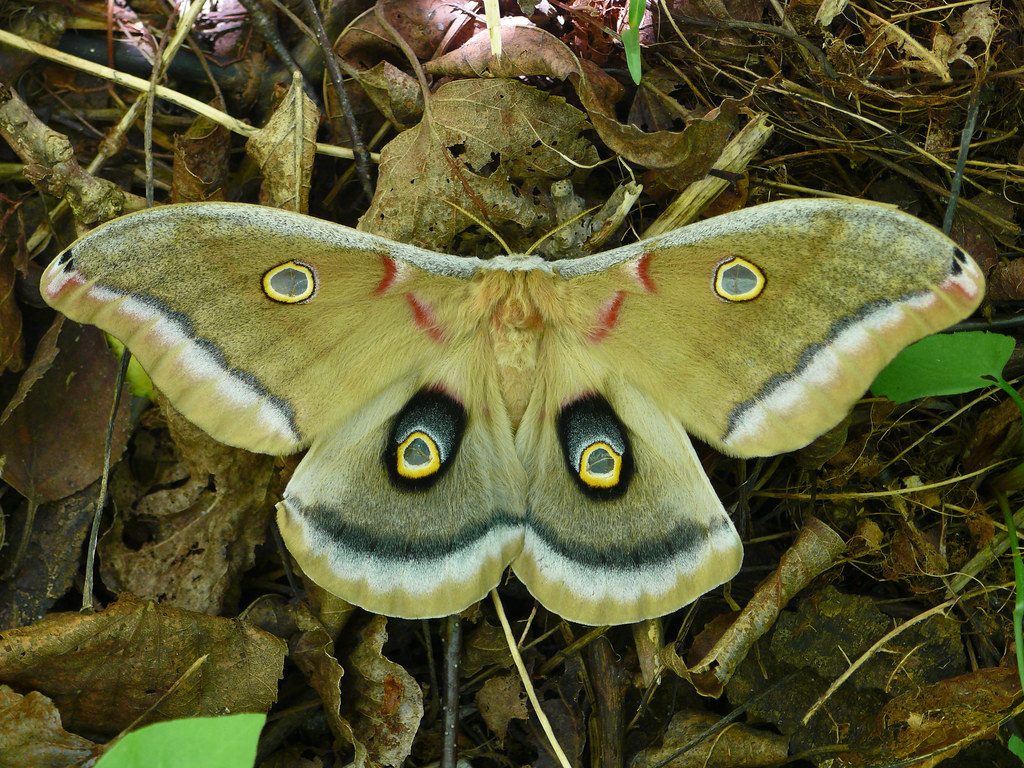 Polyphemus Moth - Antheraea polyphemus | Location ...