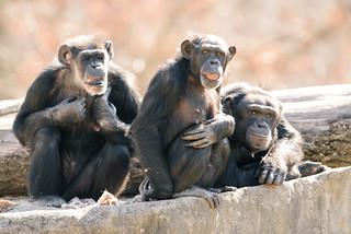 Chimp Group on Rocks | by Eric Kilby