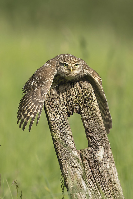Little Owl Catching Rays