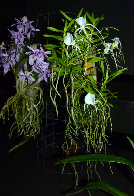 photographed at the sfos meeting 5-14, Barkeria spectabilis and Angraecum germinyanum species orchids