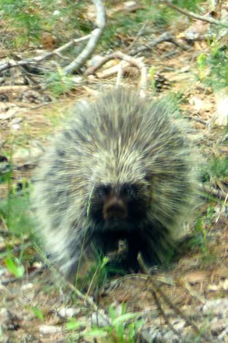 porcupine honeyrock