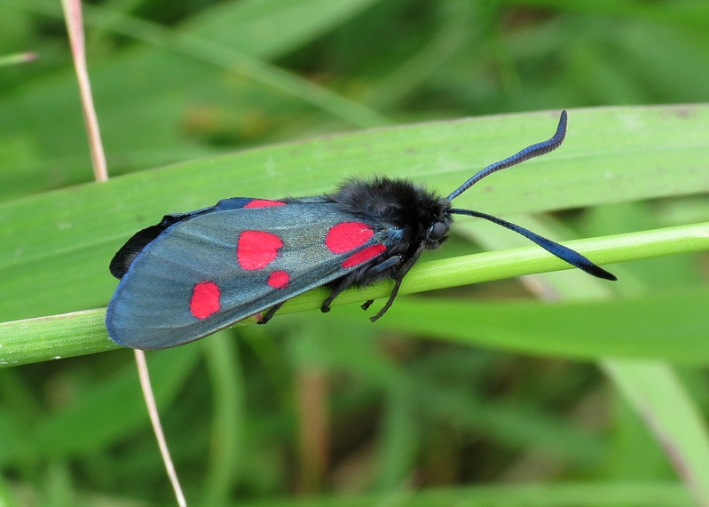 171 Narrow-bordered Five-spot Burnet - Zygaena lonicerae