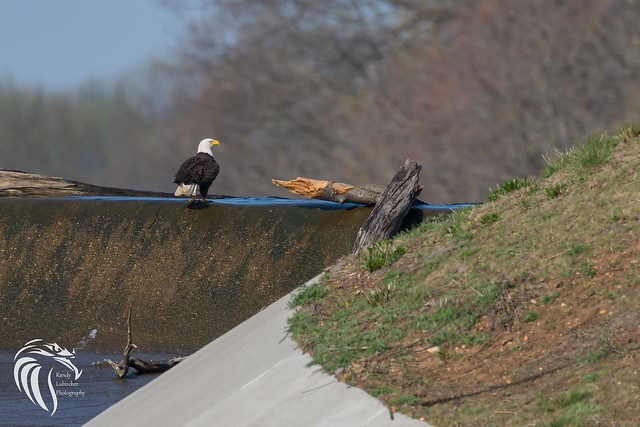 Bald Eagles of Swimming River | 2017 - 8