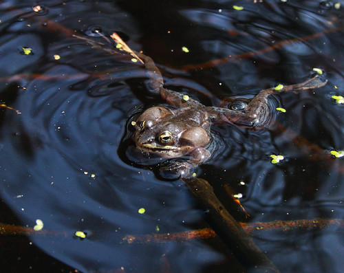 Wood frog (Lithobates sylvaticus) calling | by phl_with_a_camera1