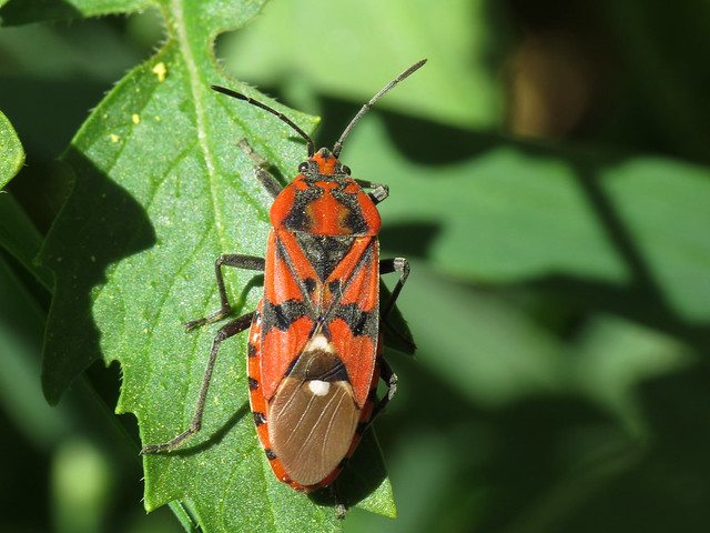 Spilostethus pandurus (Lygaeidae - Ground Bugs)