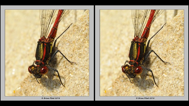 Large Red Damselfly on Stone - 3d crossview