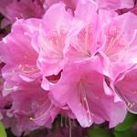 躑躅  #nature #plants #flowerslovers