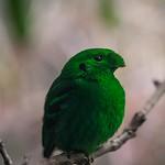 Lesser Green Broadbill