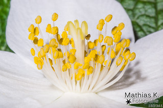 Blüte | Projekt 365 | Tag 160