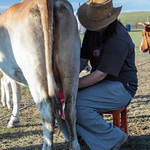 Rosie Milking a Cow