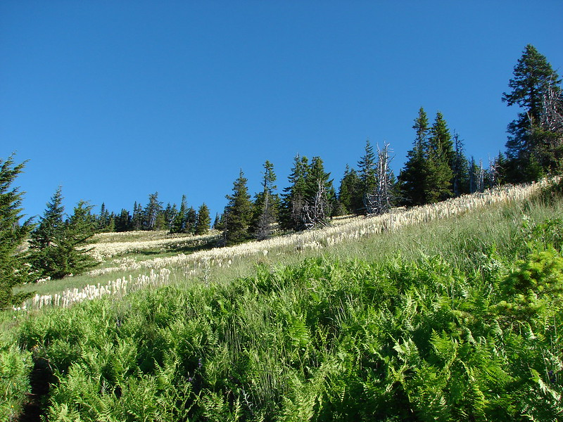 Beargrass meadow along the Crescent Mountain Trail