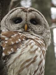 Barred Owl, Presque Isle, 2/28/2017