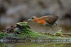 White-throated Crake by www.NeotropicPhotoTours.com
