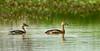 เป็ดแดง Lesser Whisling-Duck by somchai@2008