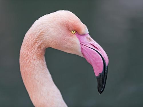 Flamingo profile | by Tambako the Jaguar