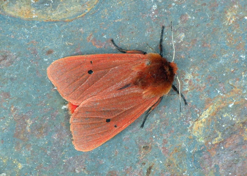 72.024 Ruby Tiger - Phragmatobia fuliginosa