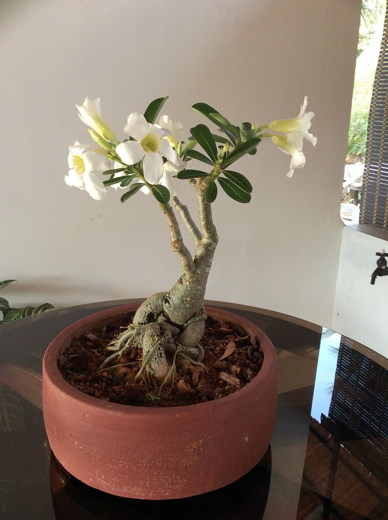 Adenium with white flowers four years -