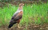 Buteogallus meridionalis, a new raptor species for Costa Rica by Daniel Mclaren .:. Naturalist Guide CR