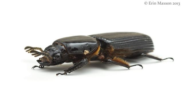 Bess Beetle 2