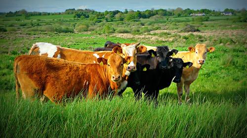 ireland green field grass animal animals lumix countryside cow cattle cows farm country farming eire panasonic crop mayo photooftheweek countymayo 52 lomoish ribbet 2014 week20 claremorris ballyhaunis 2052 autofix project52 lx3 project5220 52weeksthe2014edition week202014 weekstartingwednesdaymay142014