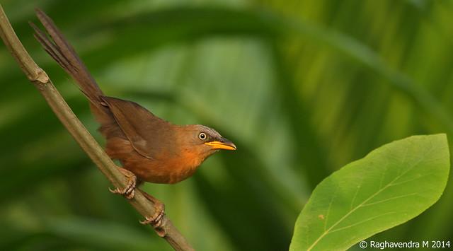 Rufous Babbler (Turdoides subrufus)