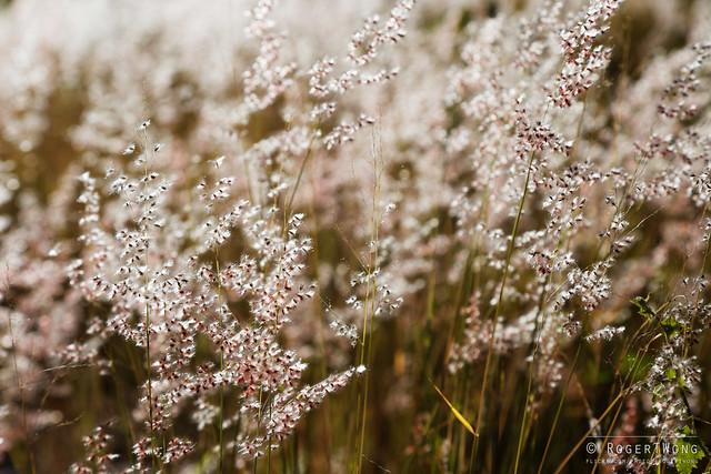 20140621-11-Larapinta Trail day 4 (S5) - Backlit grass seeds.jpg