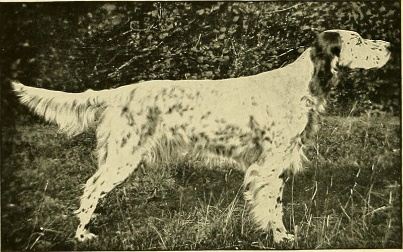 English Setter - Dog Scanner