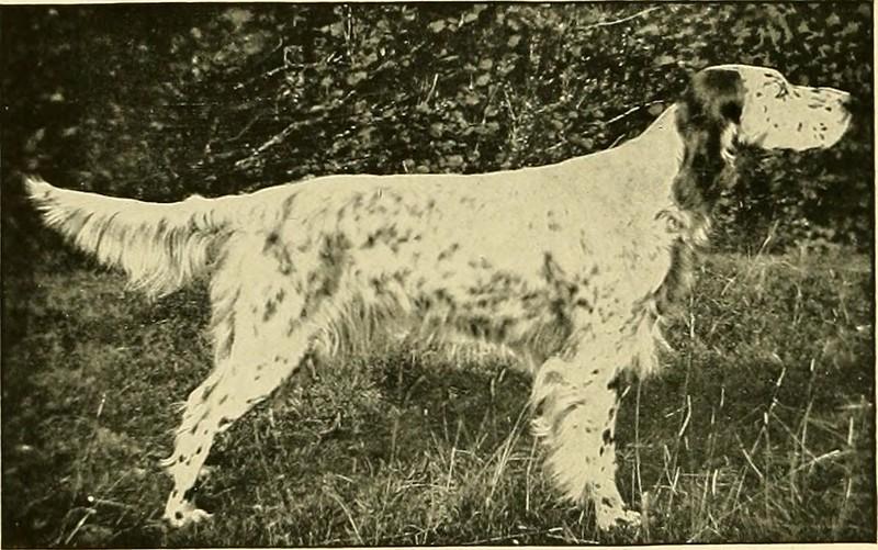 イングリッシュ・セター - Dog Scanner