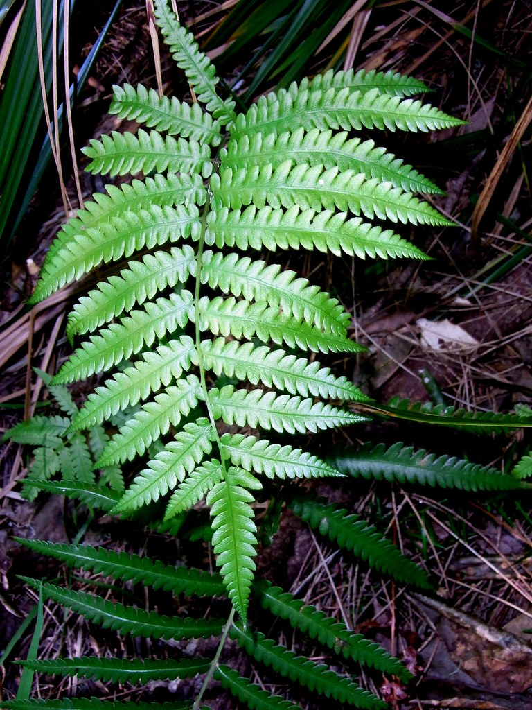 Swamp Shield Fern (Cyclosorus interruptus)