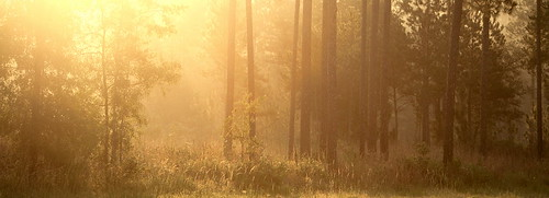 summer panorama lana nature weather fog pine forest sunrise catchycolors landscape woods louisiana savana gramlich abitasprings tnc thenatureconservancy canoneos5d sttammanyparish abitacreekflatwoodspreserve lanagramlich dailynaturetnc14 jul242014