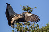 White-backed Vulture by Hector16