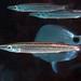 Sphyraena borealis - Photo (c) Kevin Bryant, μερικά δικαιώματα διατηρούνται (CC BY-NC-SA)