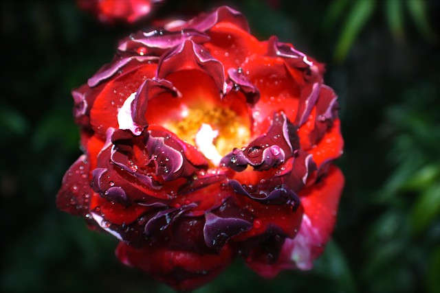 Burnt Red Dripping Rose