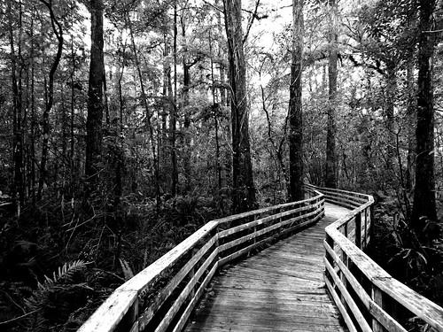 trees bw nature forest walking point landscape blackwhite wooden florida monochromatic walkway swamp boardwalk cypress vanishing railings depth cypressforest swfl colliercounty picmonkey