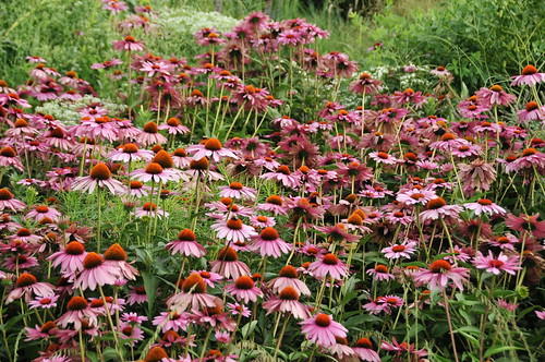 Coneflower Forest | by HorsePunchKid